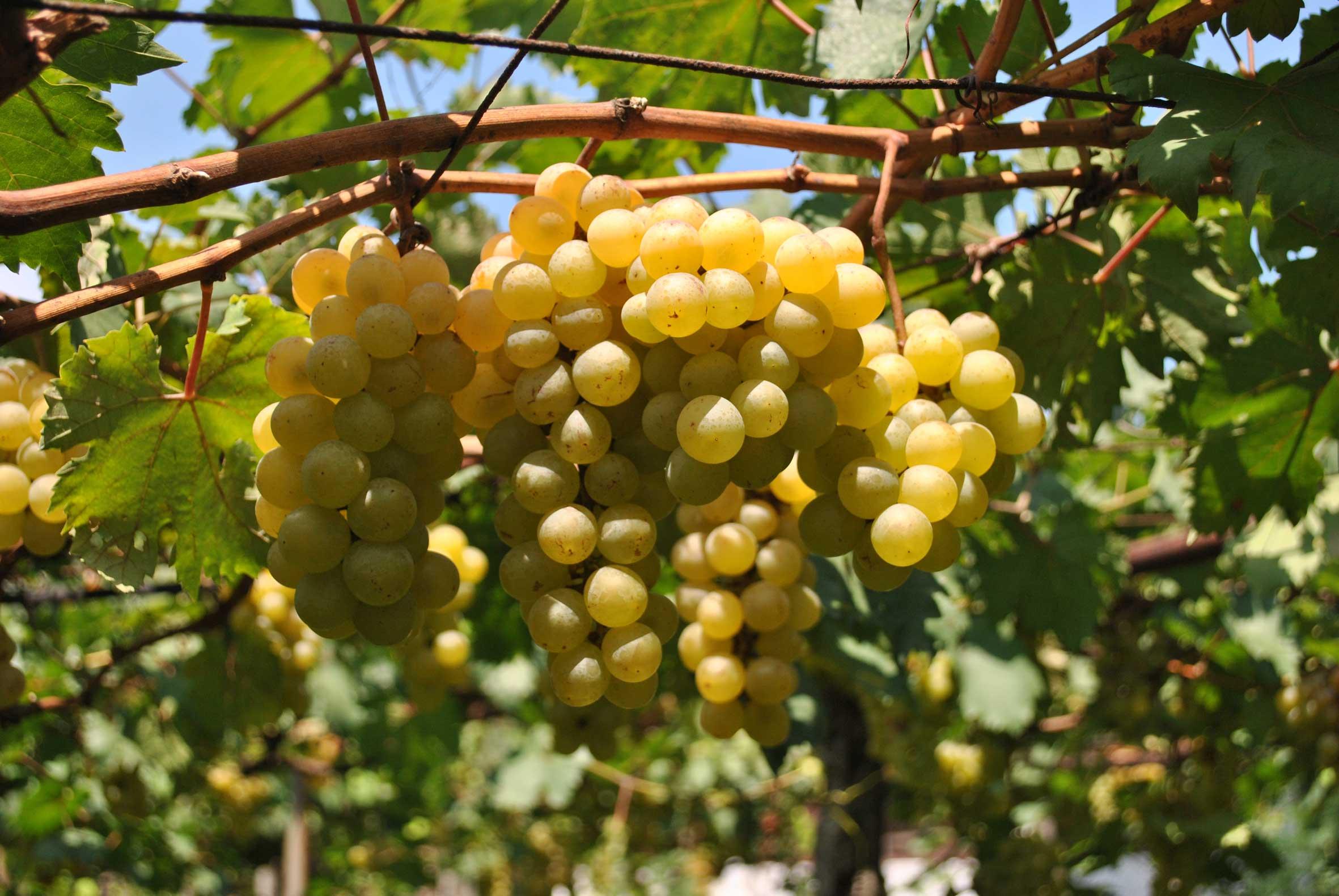 Anggur-banjarsari-a